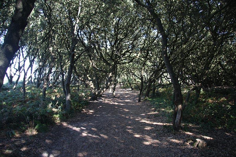 La forêt de chênes verts